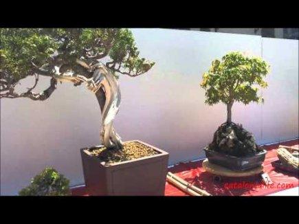 Embedded thumbnail for VI Ежегодный Конкурс Бонсай в Бланесе 2015 (IV Concurso y Exposición de Bonsais a Blanes 2015)