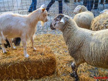 Фестиваль Сан Антонио в Англесе, 2019: Сан Антонио и благословение животных